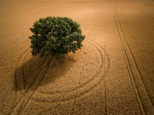 Green Tree in Crop Field
