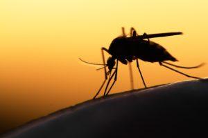 Mosquito At Sunset