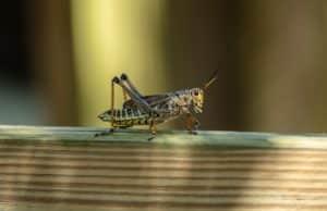 Locust Sat On Wooden Ledge