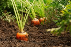 Carrot Root Growing In Soil