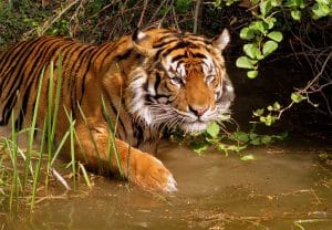 Large Tiger Laying in Water